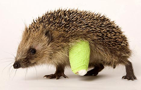 hedgehog-injured